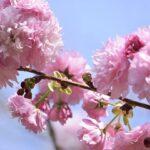 cherryblossom13_yip_03262015
